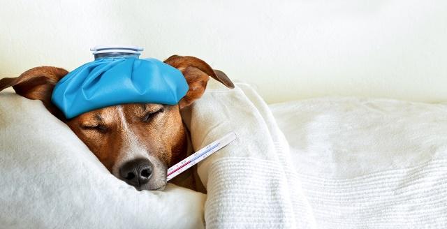熱を出した犬